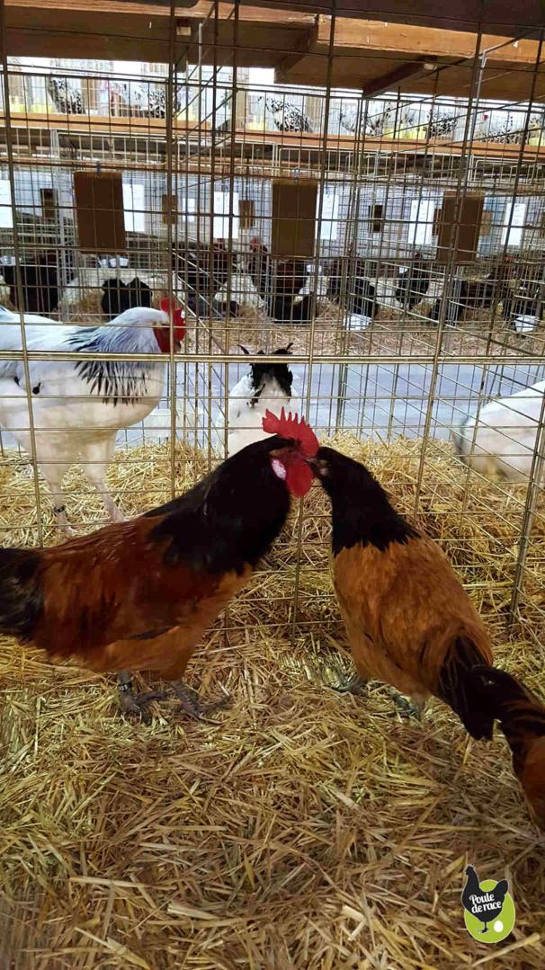 coq et poule vorwerk