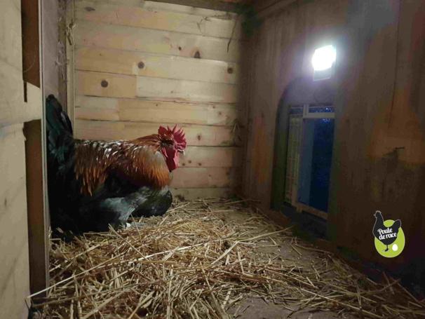 la lampe éclairant l'intérieur du poulailler permet aux poules d'aller se coucher avant la fermeture de la porte.