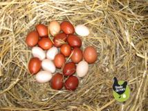 Les poules ponte et œufs