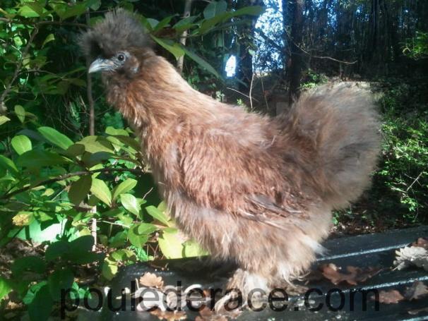Ma poule soie couleur sauvage