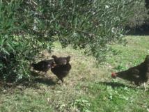 mes poules sur leur parcours