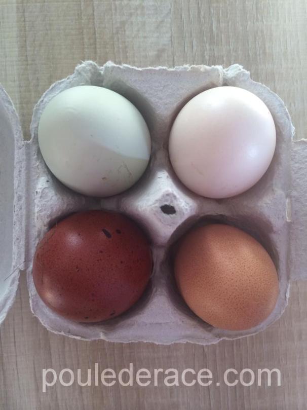 Les oeufs de mes poules