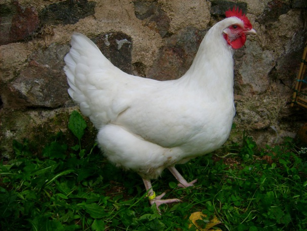 poule pondeuse white