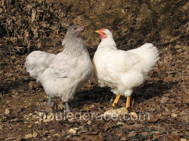mes jeunes Orpington: à gauche une poule à droite un coq
