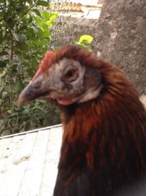 Les pricipales maladies for Les maladies des poules