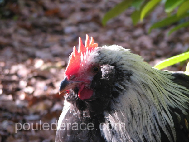 jeune coq Faverolles