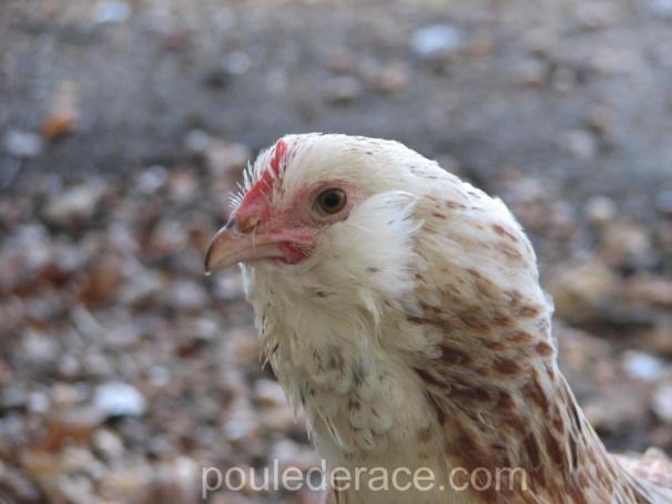 poule Faverolles