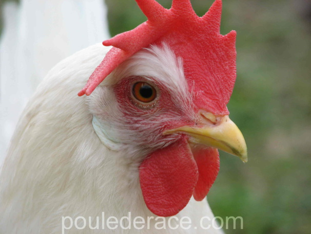 poule Leghorn blanche