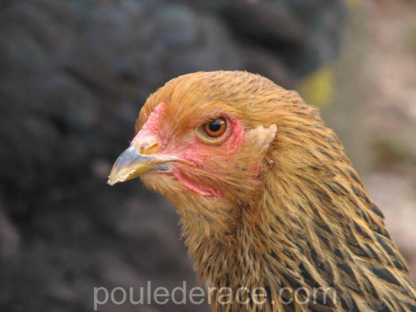 poule Brahma perdrix