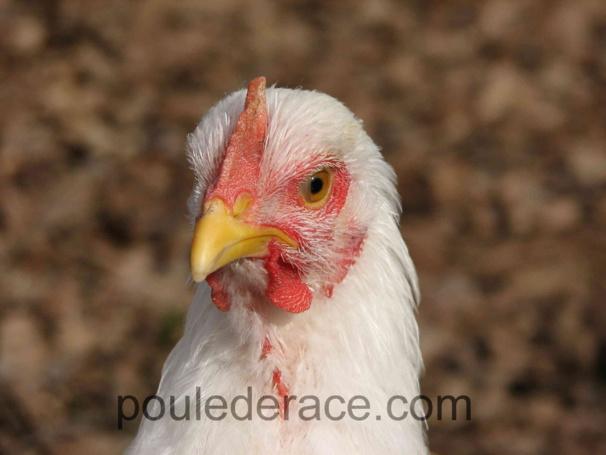 jeune coq Orpington blanc