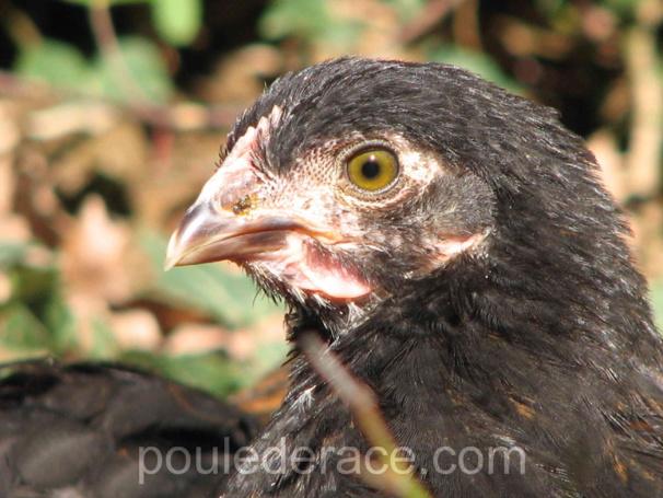 """jeune poule Marans """"noir à camail cuivré"""" de 3 mois"""