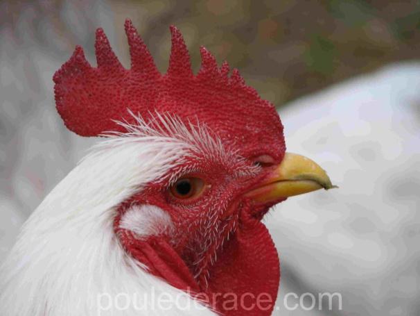 Mon coq Orpington blanc