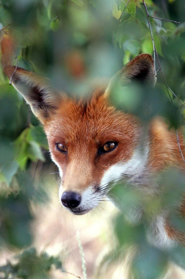 Le renard attaque aussi en plein jour