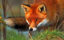 le renard passe tous les soirs et attend l'erreur!!