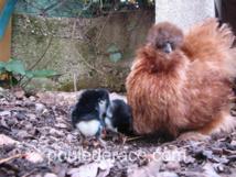ma poule soie avec ses poussins