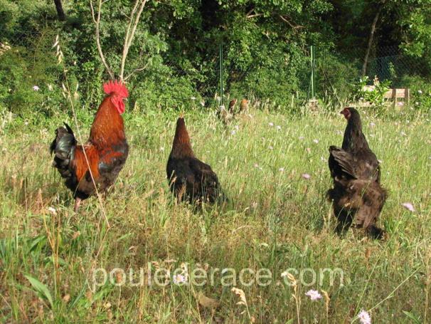 mes poules sur leur parcours herbeux !