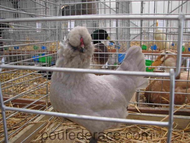 Poule Araucana anglaise gris perle