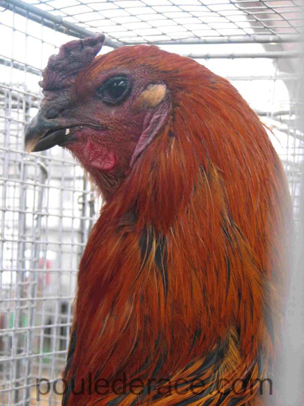 Coq Combattant de Bruges noir à camail doré