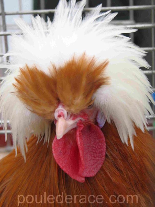 Coq Hollandaise hupée naine fauve à huppe blanche