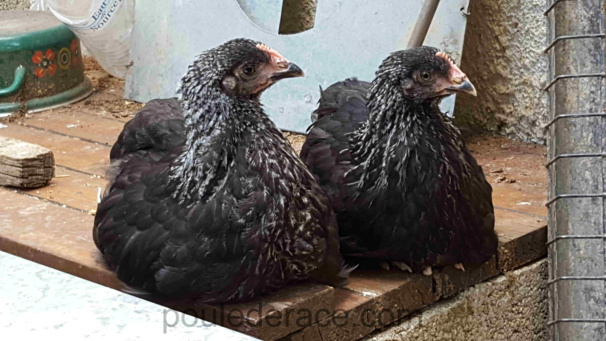 """poules Marans """"noir à camail argenté"""""""