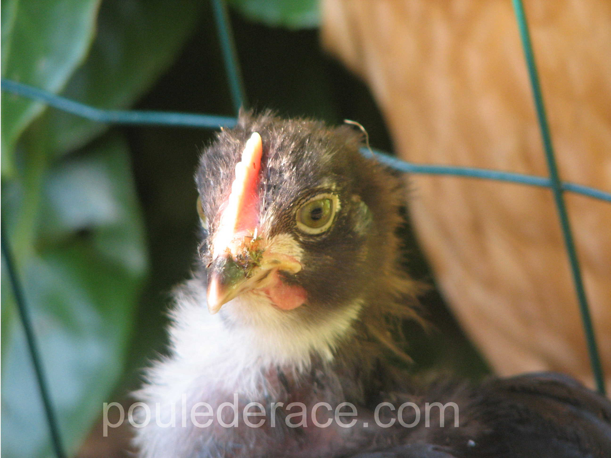 Photos de poussins