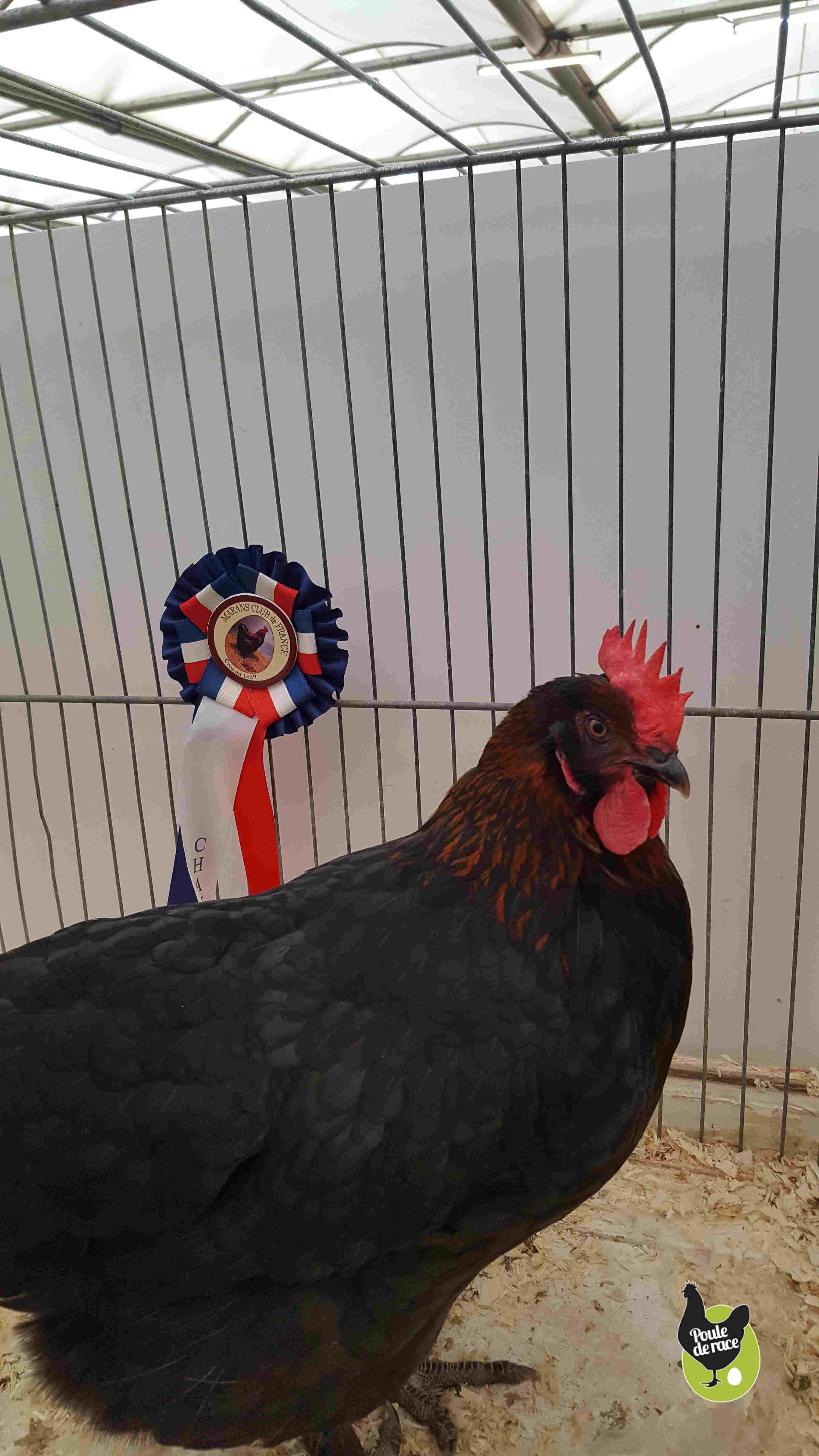 poule Marans noir à camail cuivré gagnante du championnat régional de la poule de marans