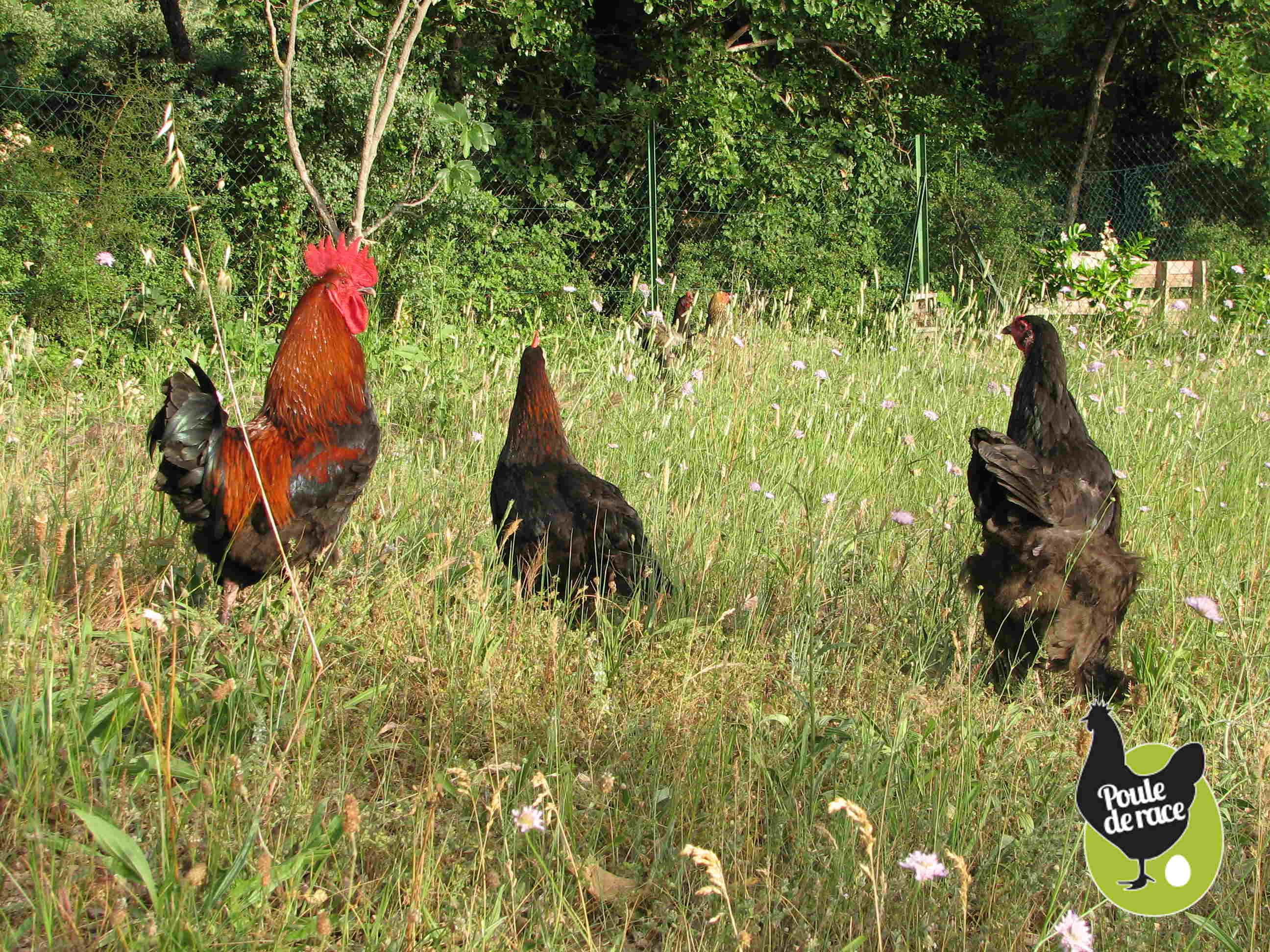 quelques conseils avant d'adopter des poules