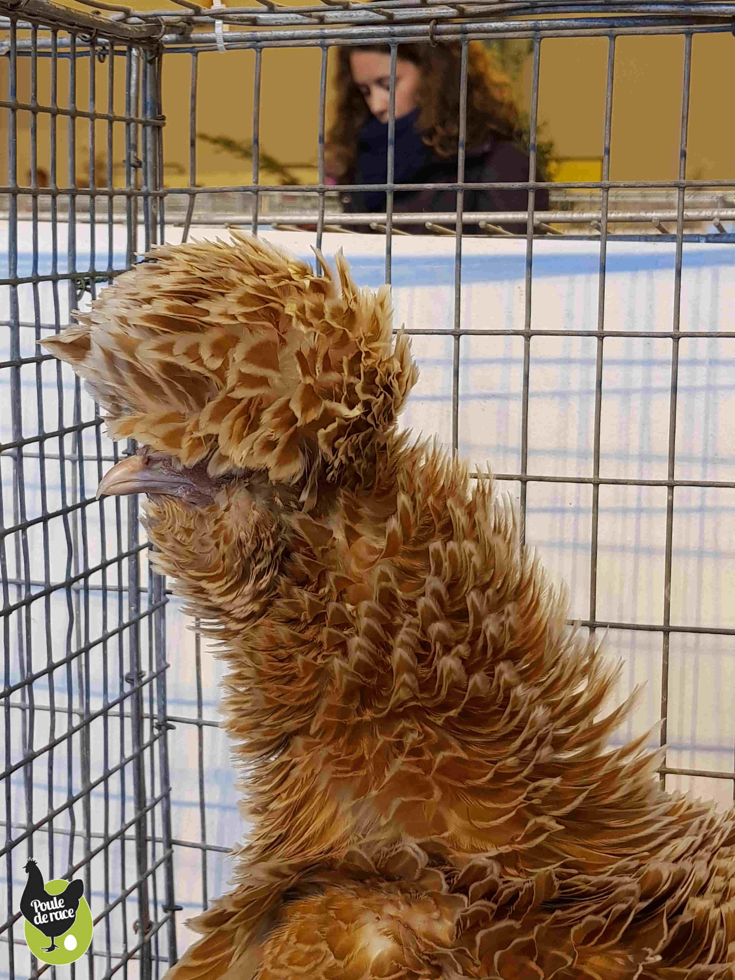 poule naine padoue chamois