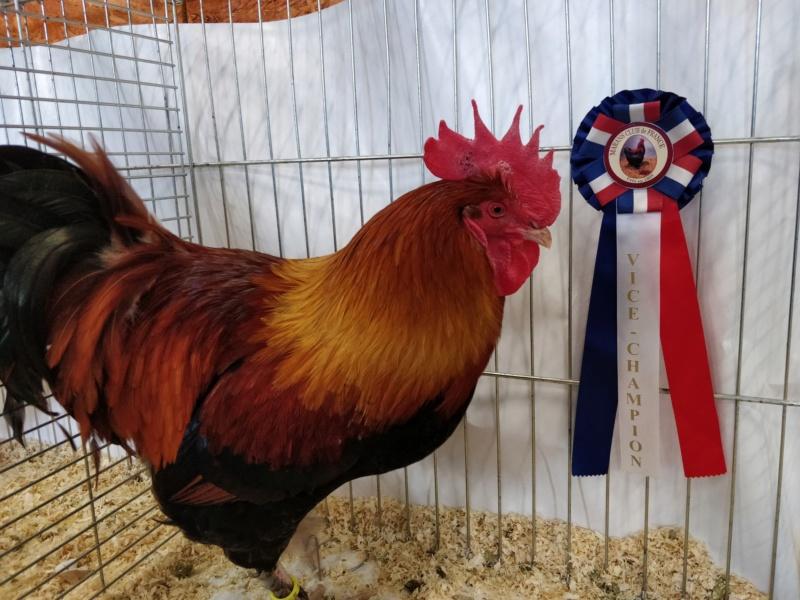 coq marans froment vice champion régional