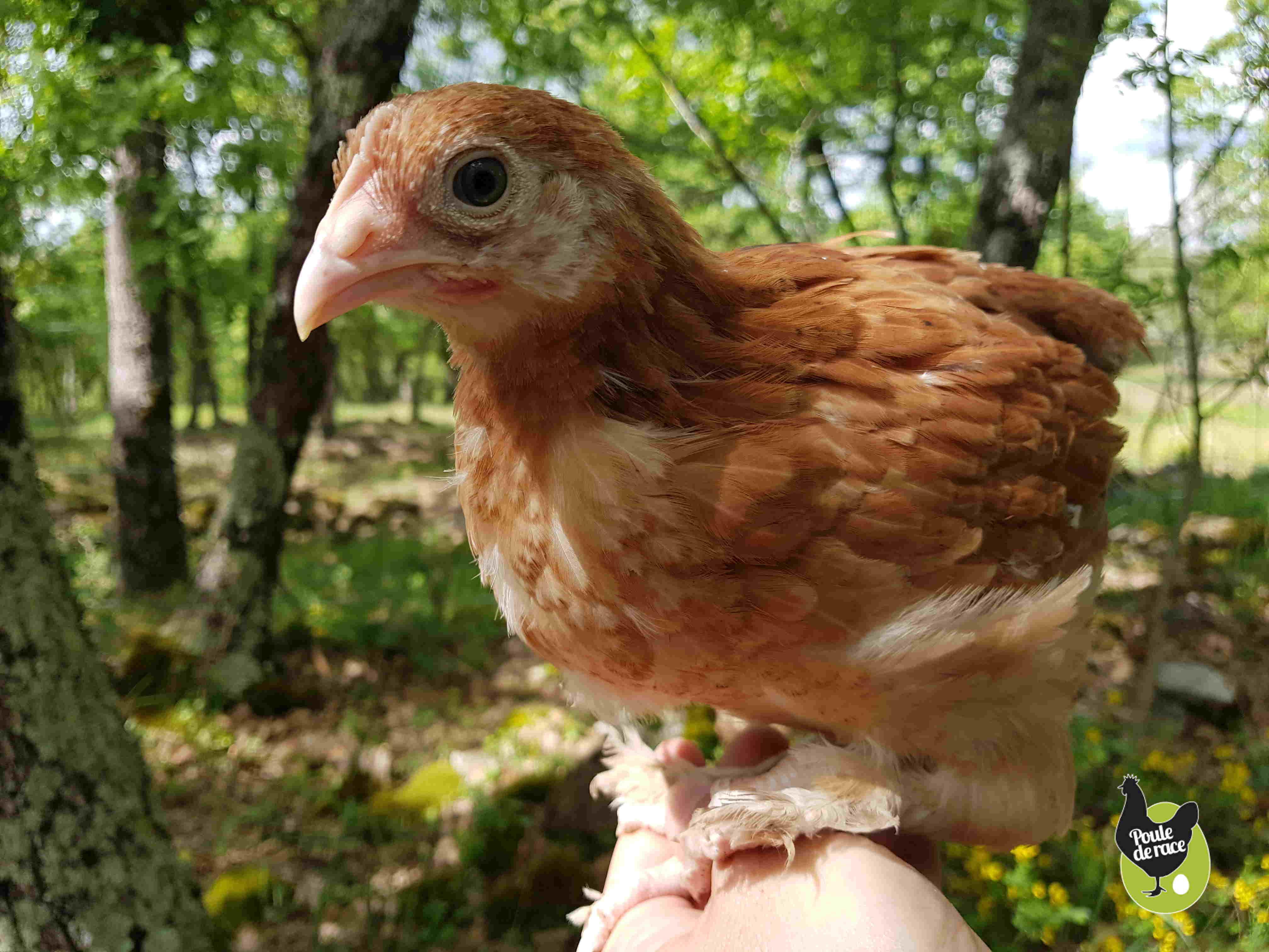 poule marans froment doré de 6 semaines