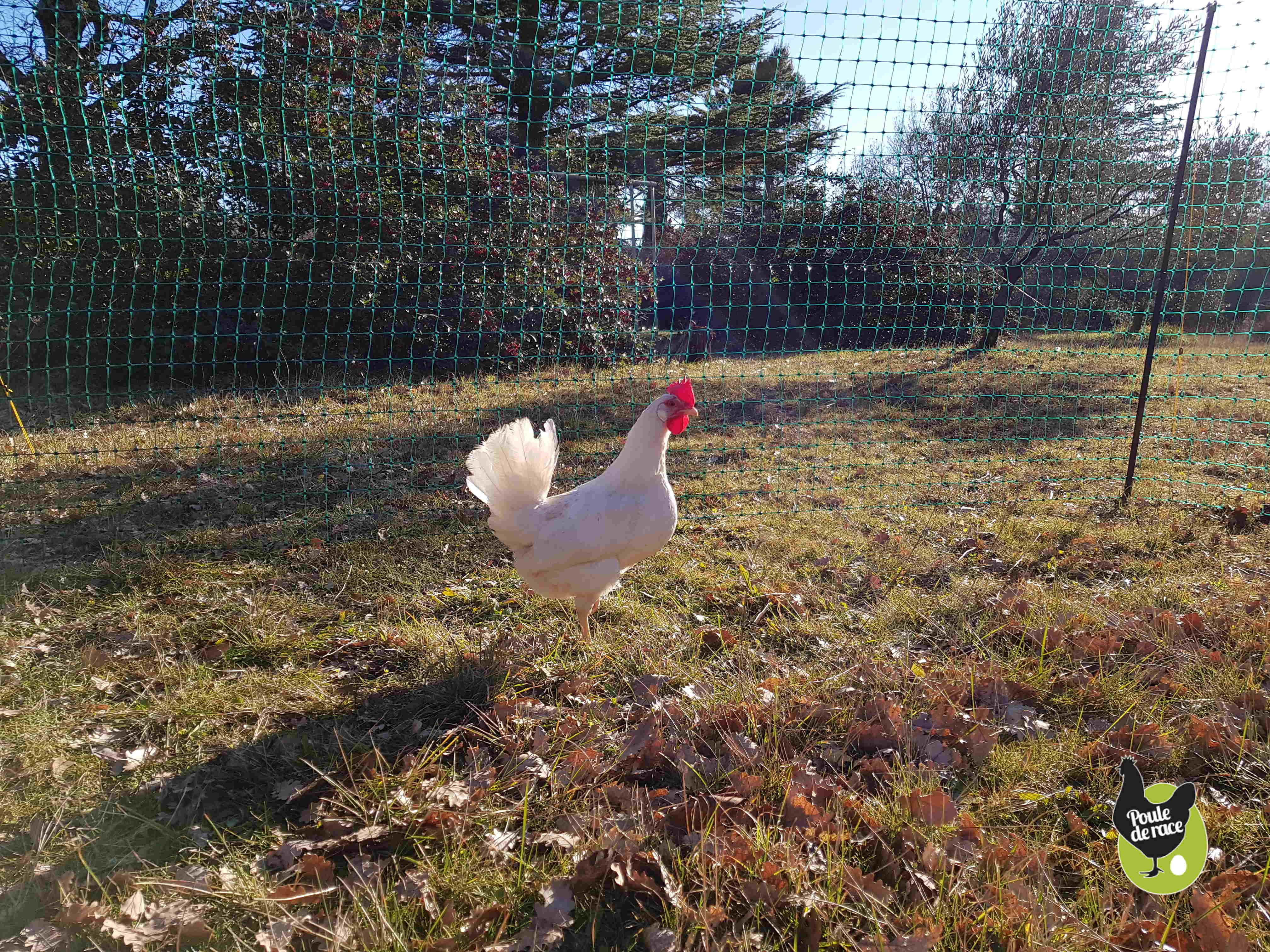 le filet permet de faire profiter les poules d'un parc herbeux