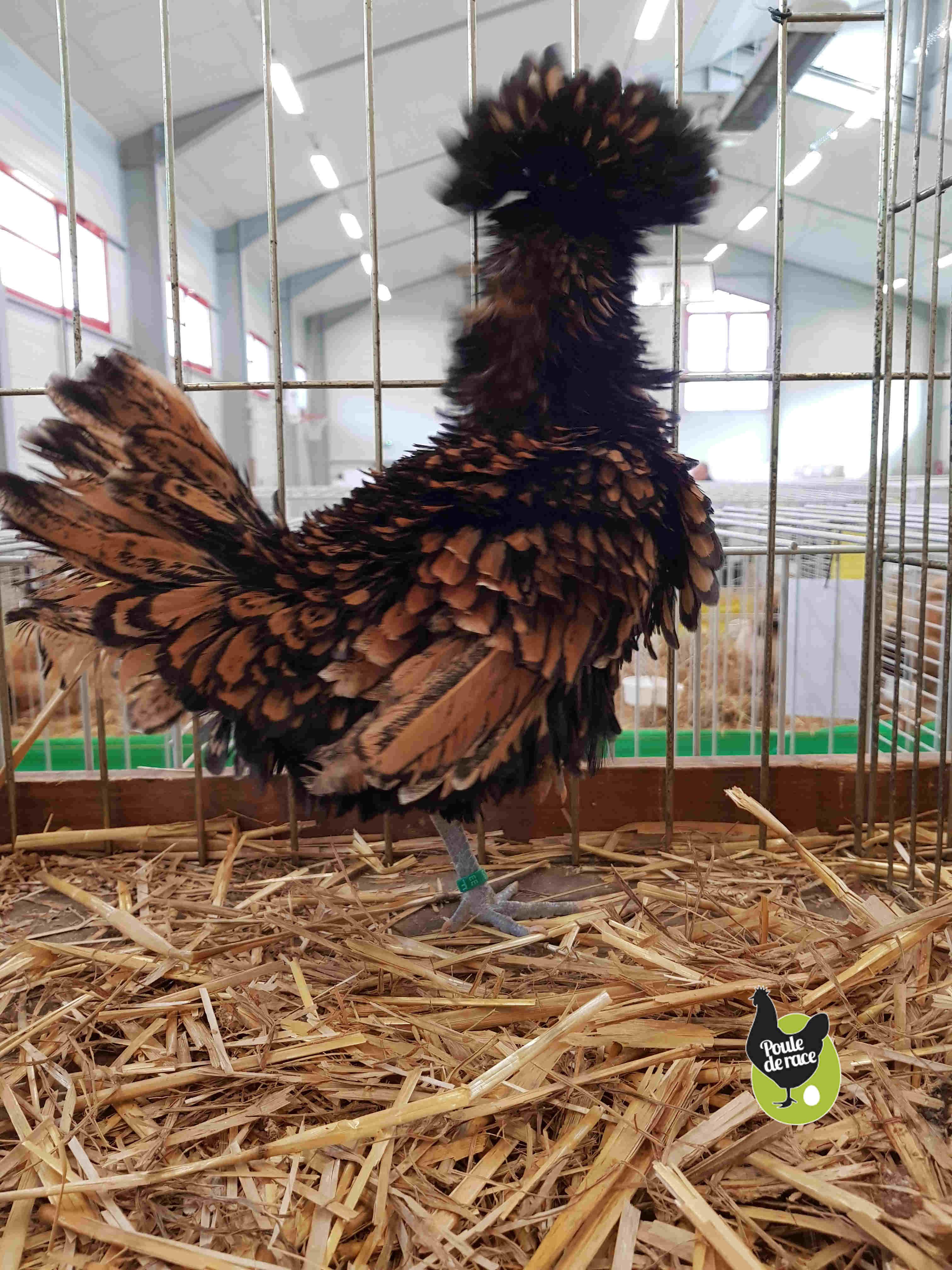 poule padoue frisée naine doré liseré noir 92pts