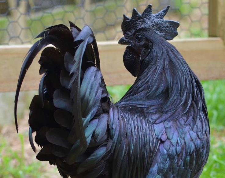 Coq Ayam Cémani