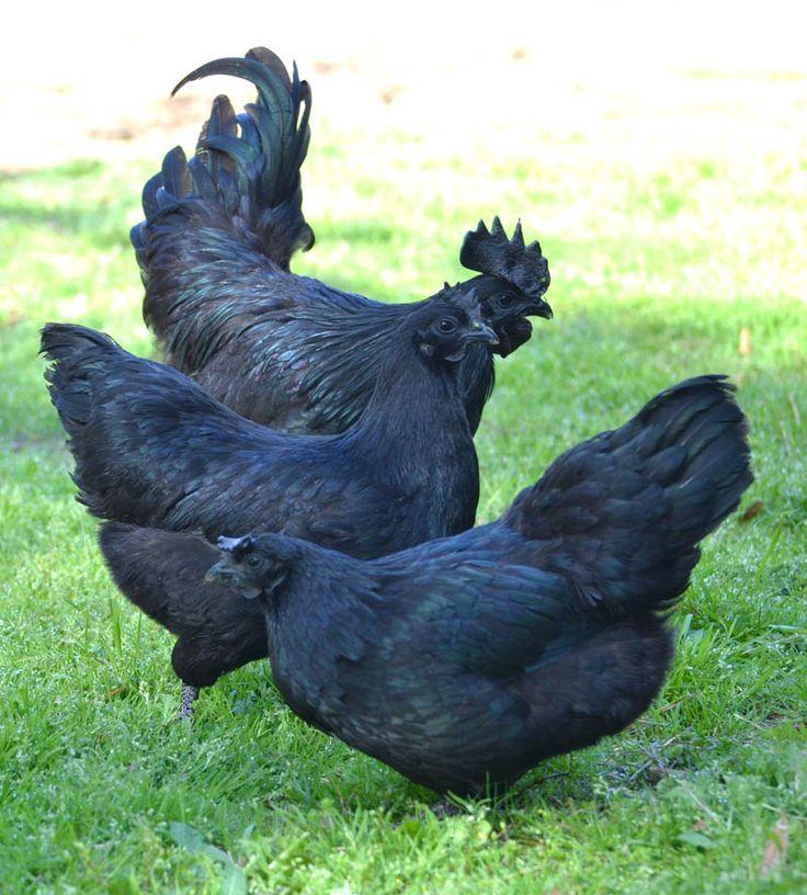 Coq et poules Ayam Cémani