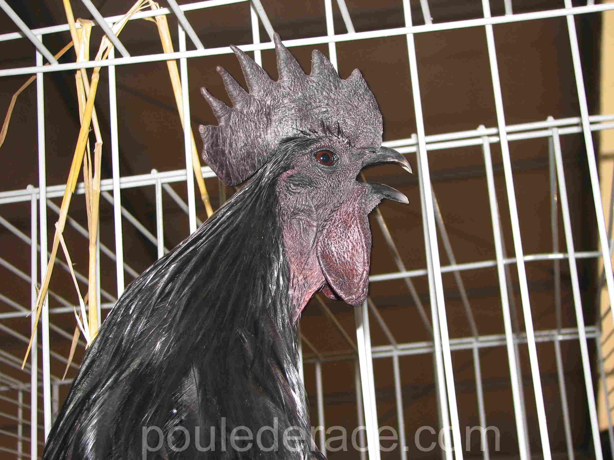 Coq qui chante Ayam Cémani