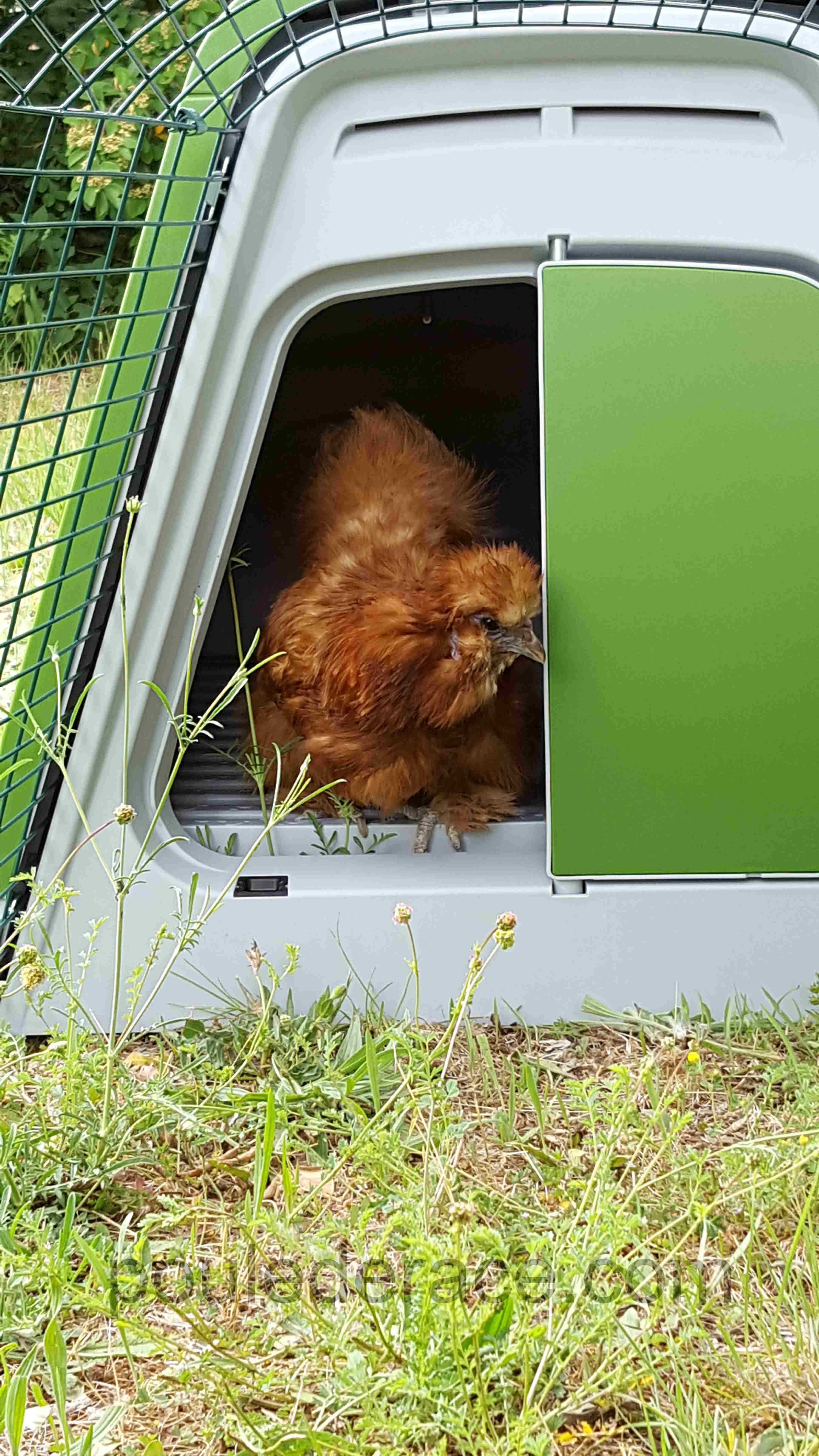 ma poule soie découvre l'Eglu Go