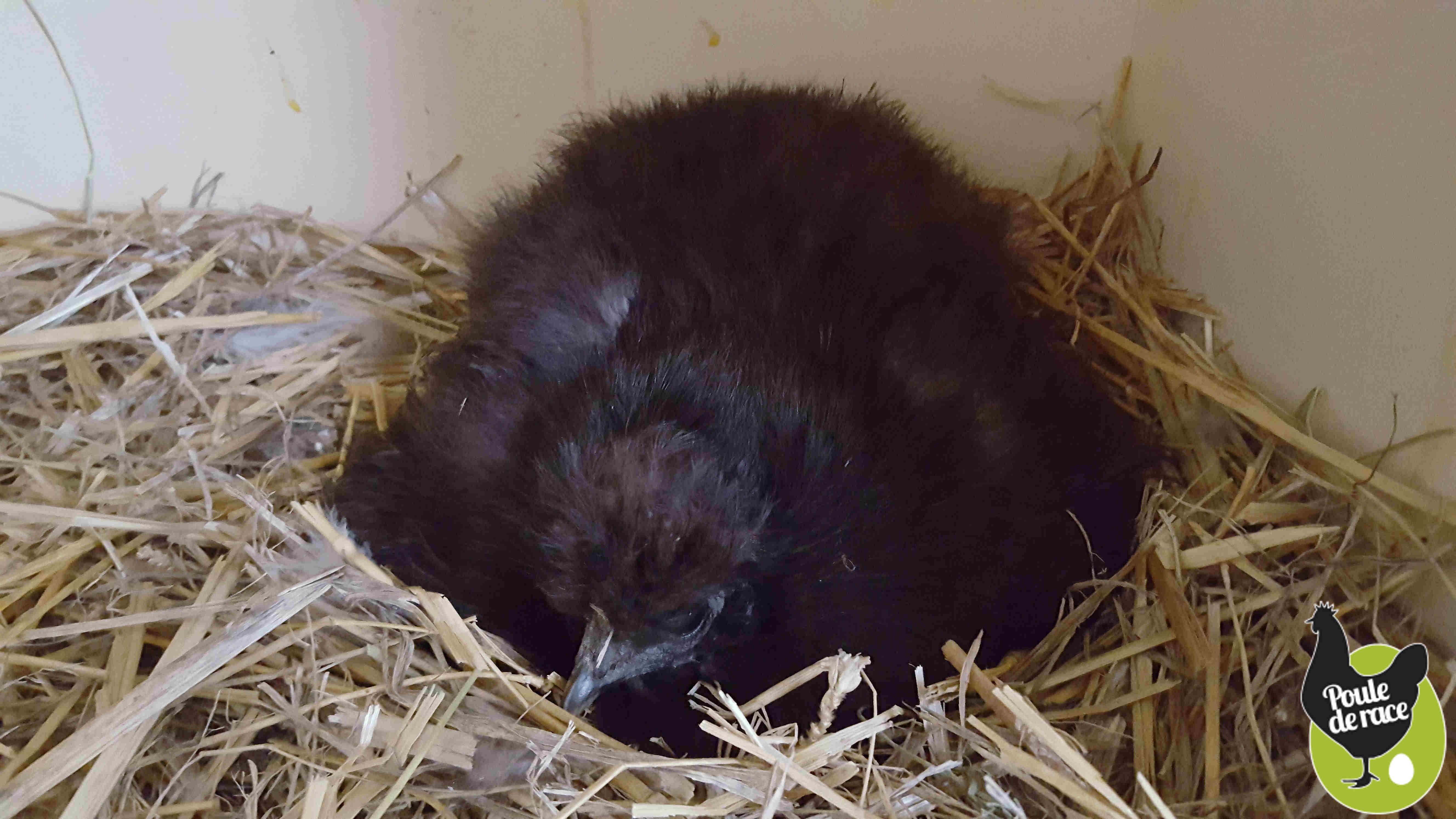 poule soie noire qui couve pour la troisième fois depuis le début de l'année