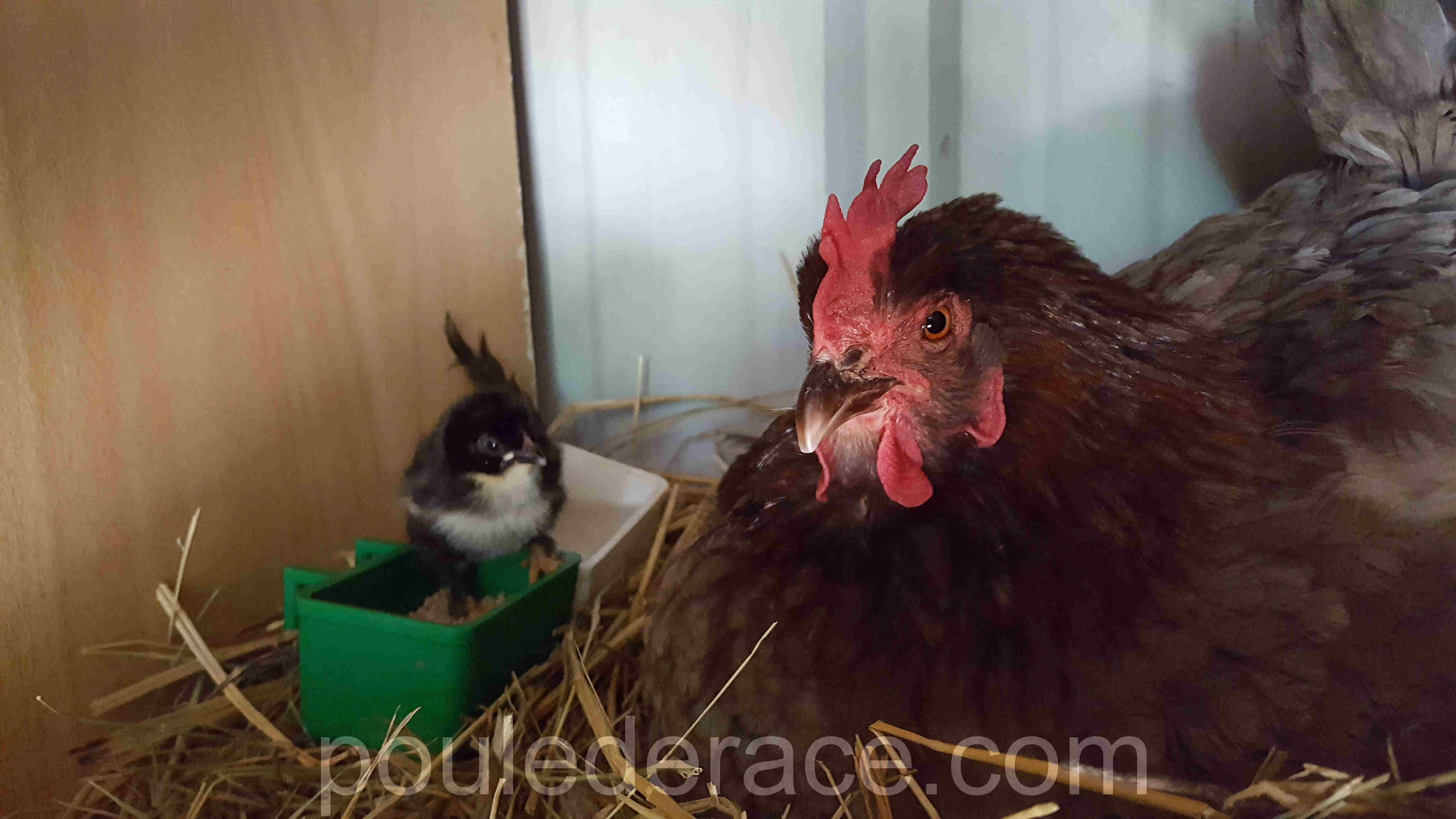 poule Marans