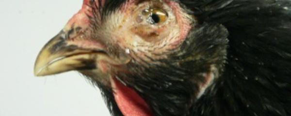Les maladies poule de race for Les maladies des poules