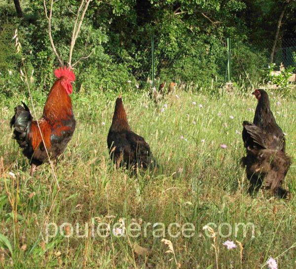 Traitement efficace du coryza chez les poules for Traitement pour les poules