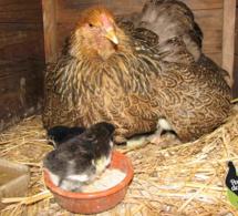 Poules pondeuses ou poules couveuses?