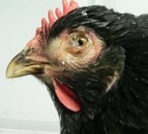Ma poule tousse