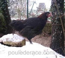 La neige VS poules