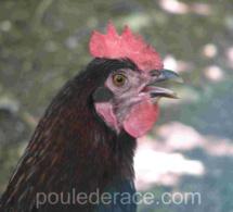 Les poules et la chaleur
